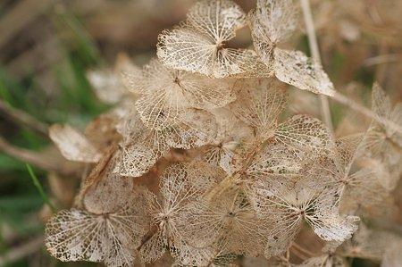 2010.10.16 和泉川 秋紫陽花