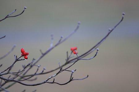 2010.11.26 和泉川 ハナミズキ