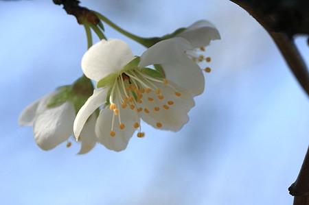 2011.03.29 和泉川 さくら 小さな一重の桜