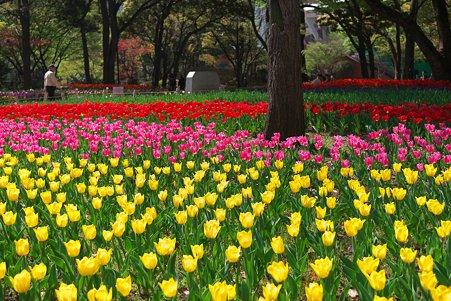 2011.04.15 横浜公園 チューリップまつり-12