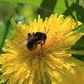 2011.04.25 和泉川 タンポポにミツバチ