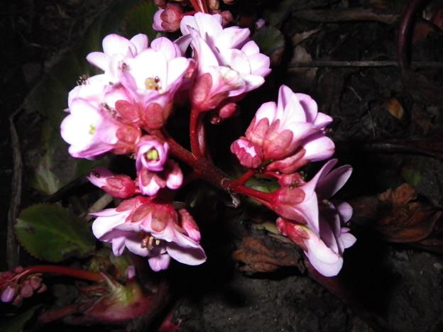 北海道の野花6