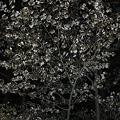 北海道神宮夜桜0003