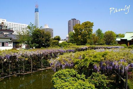 東京スカイツリーと・・藤の咲く風景