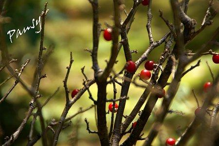 紅い実・・吉亭庭園にて・・