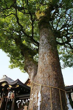 樹齢300年・・ご神木の楠 清明神社・・9