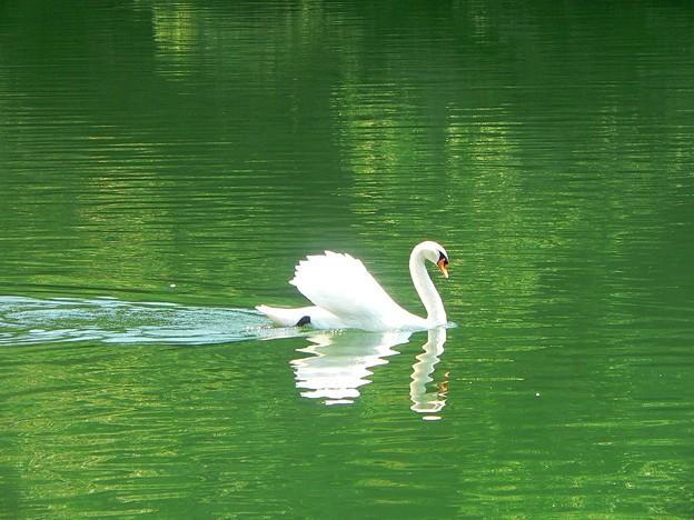 白鳥の湖・・・。