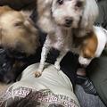 うちの保護犬のプードルは小春ちゃん(痛々しい~)