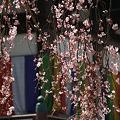 Photos: しだれ桜!(100326)