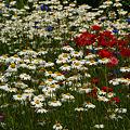 Photos: フランスギクの花畑!(100522)