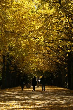 イチョウ並木の散歩!(101111)