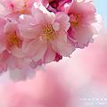 2011年桜