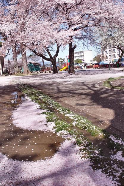 夜半の雨の朝・桜散る-D8-0413-15