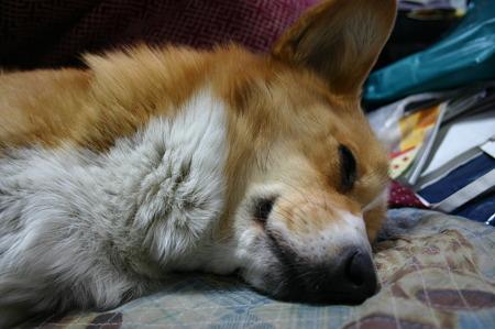 あずきの寝顔