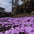 Photos: 柴桜 芝桜