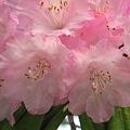 写真: 麗らかアザレアの花たち
