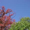 写真: 赤葉っぱと緑葉っぱも良い感じ