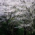 桜の森の満開・・・