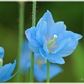 Photos: Blue Poppy_0020