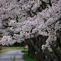 Photos: 篠山某所・秘密の桜の名所にて