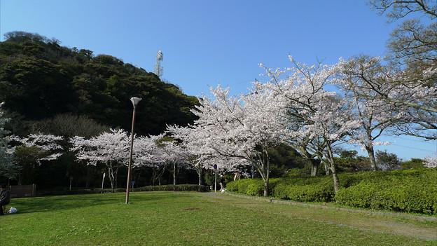 めかり公園の桜(5)