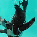 Photos: 福岡市動物園のペンギン(1)