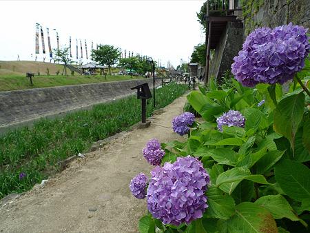 高瀬裏川花しょうぶまつり(13)紫陽花