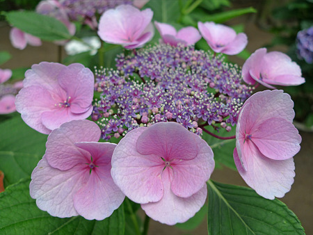 筥崎宮~紫陽花園(4)