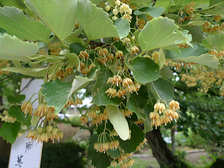 戒壇院の菩提樹(3)