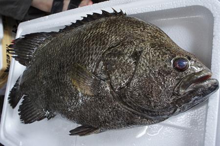 古代魚ポイント -えら-