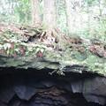 溶岩に木。
