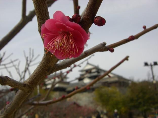 Photos: 紅梅と松山城