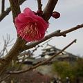 紅梅と松山城