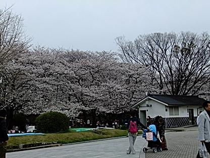 どこを見ても桜(笑)