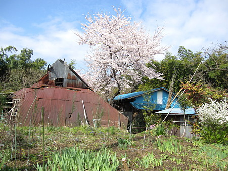 民家の庭に咲く桜