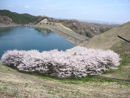 城山湖の桜(3)