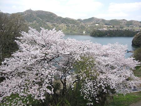 津久井湖の桜(6)