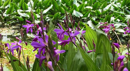シラン咲く庭