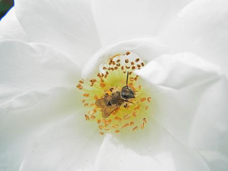 バラの中から