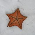Photos: 雪に落ちた 赤い流星