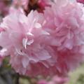 2011/04/17 倉敷種松山西公園