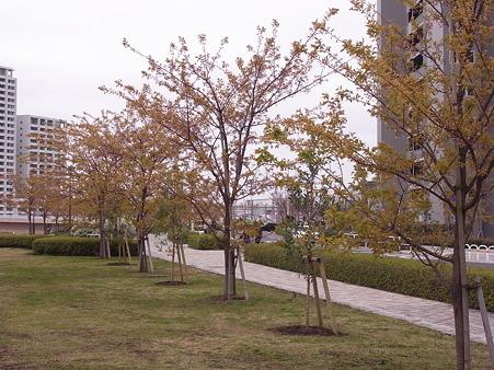 南千住 汐入公園の桜 2010-3-28 15