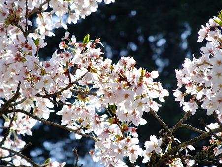 宴会会場の桜3