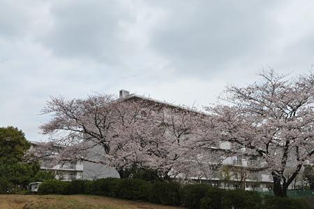 桜 2010 前田町公園 02