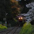 写真: 小湊鉄道の桜 2010 11