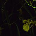 写真: 西蓮寺のホタル 01