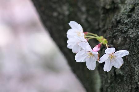 2010年目黒川・桜01