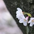 写真: 2010年目黒川・桜01